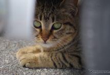 「猫がクルマに入り込んだ」JAFへの救援依頼、1か月で19件