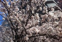 都内の桜の名所を満喫 「江戸さくら巡りお花見タクシー」を運行
