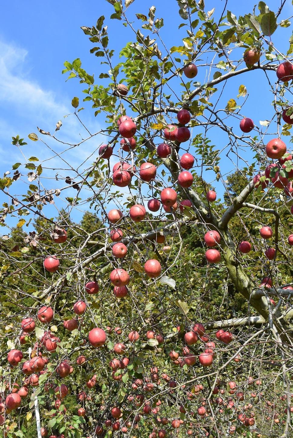 たわわに実ったりんごを収穫する。《撮影 井元康一郎》