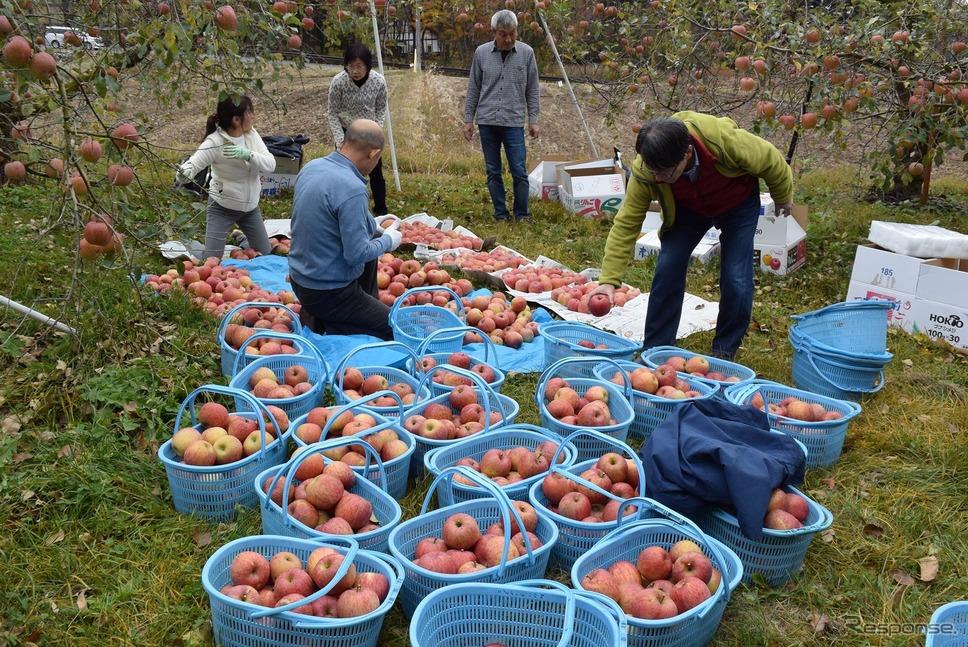りんごの木2本分。収穫してみると結構量があった。《撮影 井元康一郎》