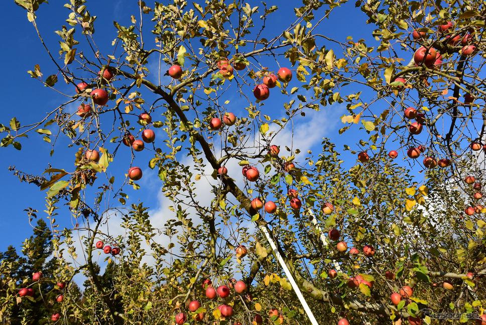 数々の災害にも負けず実ってくれたりんごたち。《撮影 井元康一郎》