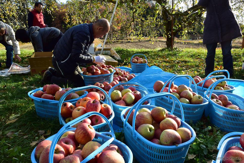 収穫したりんごをおおむね松竹梅の3段階に分類。《撮影 井元康一郎》