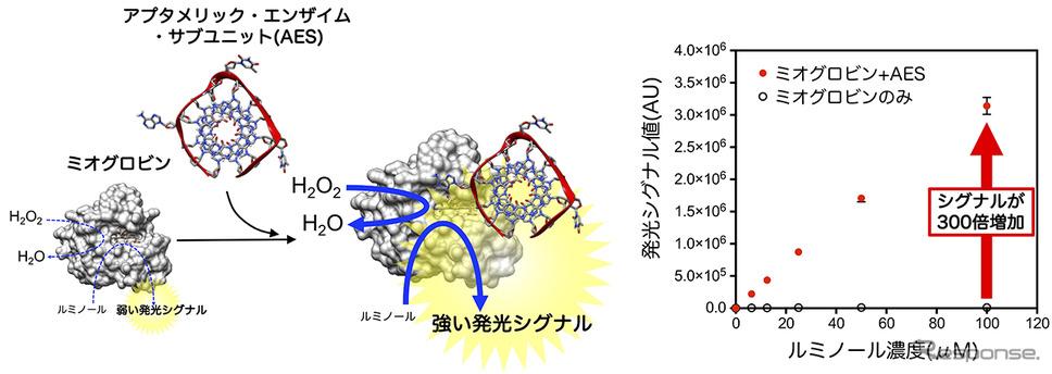 アプタメリック・エンザイム・サブユニット(AES)は、ミオグロビンに結合することでペルオキシダーゼ活性に関わる性質を激変させる《図版提供 東京農工大学》